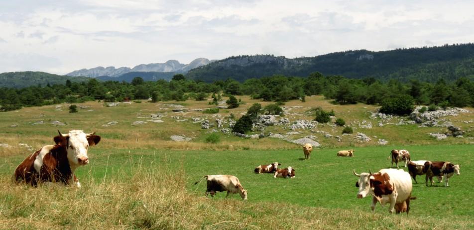 vercors cow
